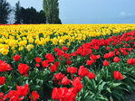 Photos: The Skagit Valley Tulip Festival