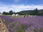 2015 Lavender Festival: 'Lavender is the herb of relaxation'