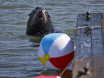 Beach balls used in Astoria's battle to keep sea lions off docks