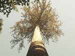 World record tree survives another brush with death