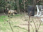 Coyote runs loose in Manhattan, caught by NYPD