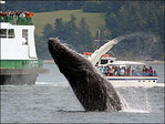 NOAA wants to remove most humpback whales from endangered list