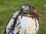 Wayward raptors get new start away from Sea-Tac Airport