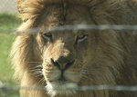 Lion attack: 'You can't get complacent and look at them as your pets'