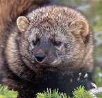 Illegal pot farms may put West Coast fisher on Endangered Species list