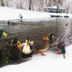 Cute Ducks in Snow