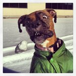 Boxer Meets Snowball...Hilarity Ensues!