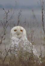 Snow Owl at Fern Ridge