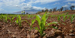 Maui to vote on GMO crop ban