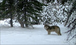 Feds cancel Idaho wolf derby permit on BLM land