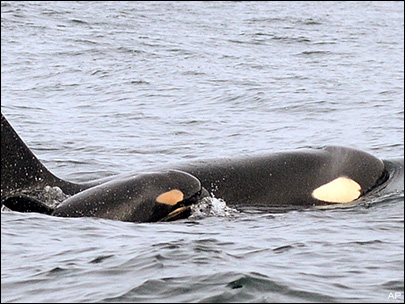 New baby orca, other discoveries made by NOAA team