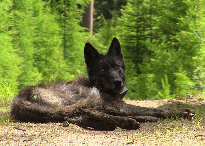 Investigation into deaths of 2 Oregon wolves suspended