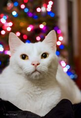 White Christmas Kitty