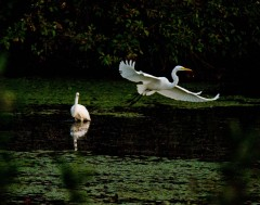 Egrets visit the Ponds