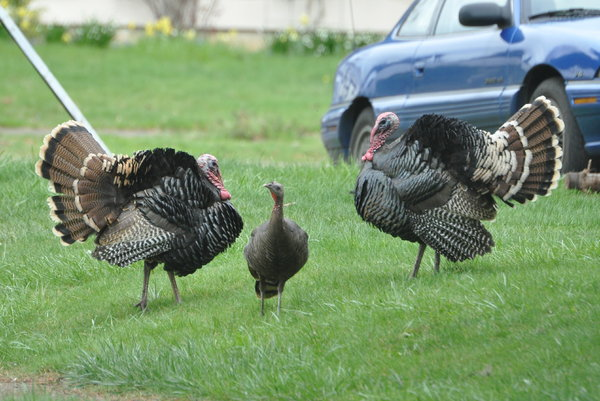 Turkeys at 18th and 4 Oaks Grange