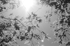 Maple Tree In The Sun
