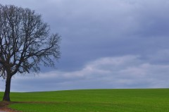 Beautiful Oak Looks Over Farmland