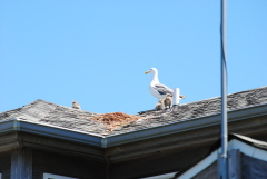 gulls nest on roof for third year