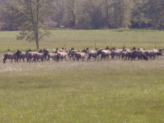 Elk in the Crow Area of Eugene April 2,