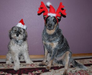 Christmas season.......Cattledog 101
