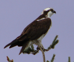 Osprey holding desperately onto limb