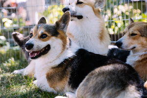 Cuteness overload at the Northwest Corgi Picnic