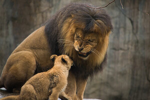 Lion cubs at Oregon Zoo meet dad for first time
