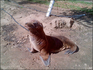 Lost sea lion found a mile away from nearest water