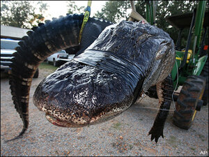 Hunters haul in gigantic 1,000-pound alligator