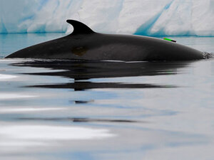 OSU researchers first to track Antarctic minke whales