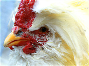 Judge says Oregon woman's noisy rooster must go