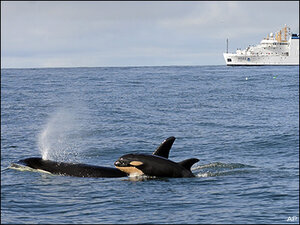 Fourth baby for endangered Puget Sound orcas