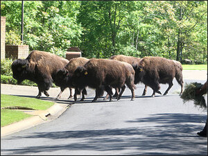 2 buffaloes on the run through Arkansas town after herd escapes