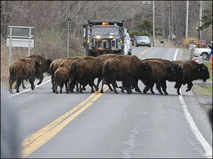 15 runaway bison shot to death after crossing busy NY highway