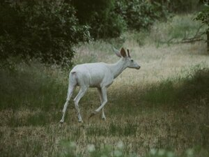 Albino deer spotted in Boise foothills
