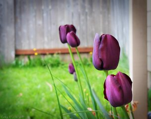 The Black Tulips are Blooming