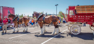 The Budweiser Clydesdales!