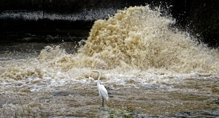 Egret below the dam