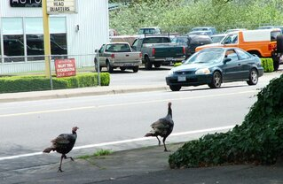 Turkey Traffic an Early Thanksgiving ?