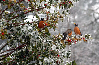 Robins feedin off a holly bush