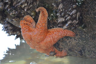 Starfish hanging on a rock underwater.