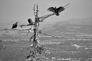Vultures on Spencer Butte