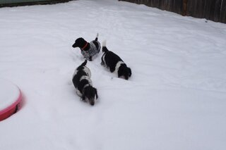 My weener dogs LOVE playing in the snow!