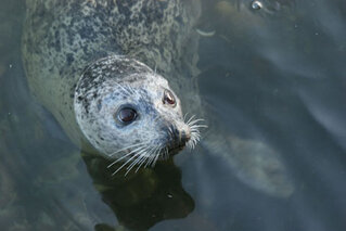 Brown-eyed Seal