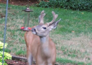 Deer with a Sweet Tooth