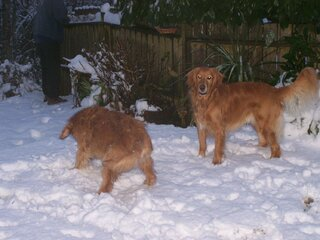 Goldens in the Snow