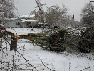 Large Healthy Maple Tree, Split by Ice