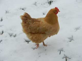Chickens get a snow day too..First Ever.