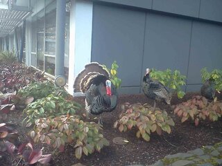 Wild Turkeys Downtown!