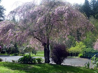 SpringTime Coos Bay, Flowering Plum Tree